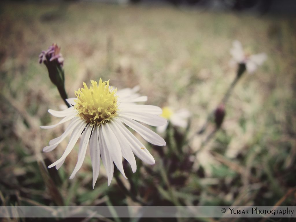 Daisy – with a different filiter