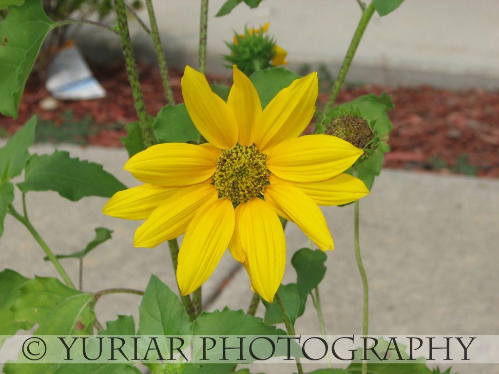 Mini-sunflower
