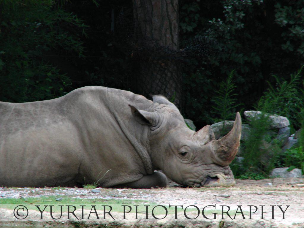 Rhino.